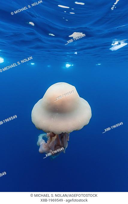 An extremely rare photo of a large jellyfish believed to be Stygiomedusa gigantea in brash ice, Cierva Cove, Antarctica, Southern Ocean