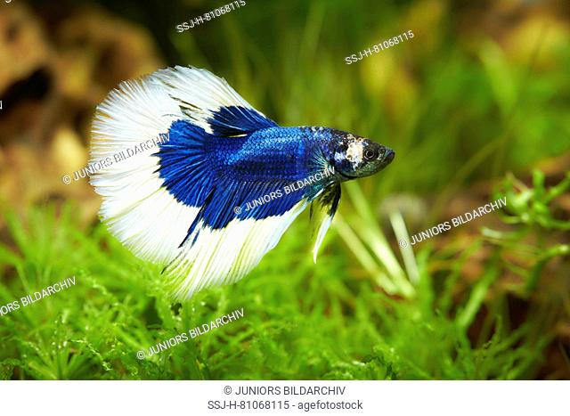 Siamese Fighting Fish (Betta splendens). Male in an aquarium. Germany