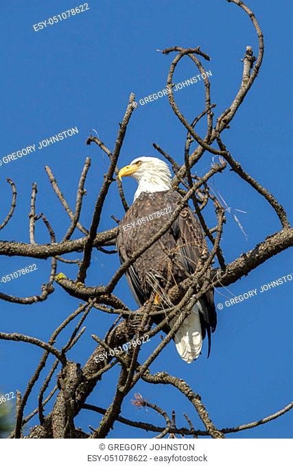An american bald eagle is perched on top of a barren tree near Coeur d'Alene, Idaho