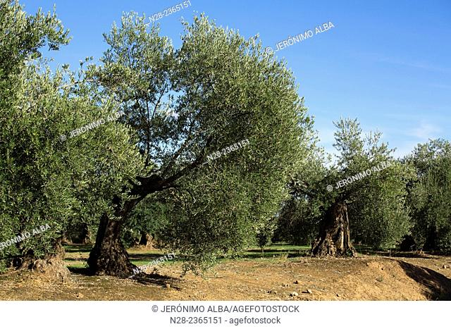 Olive grove, Andalusia, Spain