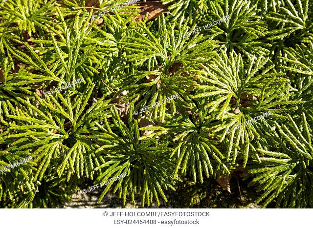 Close up of fan clubmoss, Lycopodium flabelliforme, in March at Case Mountain Park, Manchester, Connecticut