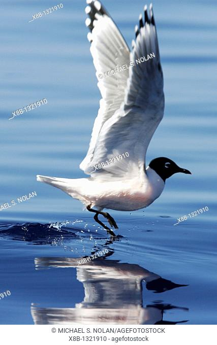 Adult Franklin's Gull Larus pipixcan taking flight in the AuAu Channel, Maui, Hawaii  Pacific Ocean