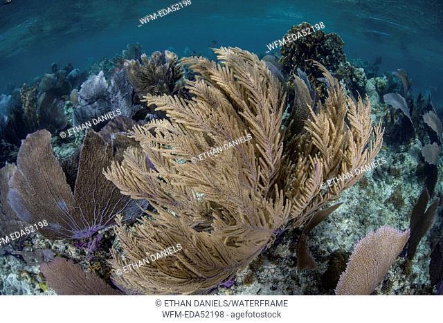 Gorgonian in Coral Reef, Gorgonia sp., Turneffe Atoll, Caribbean, Belize