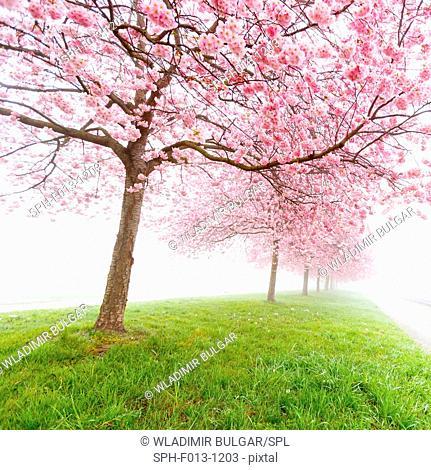 Cherry blossom on trees