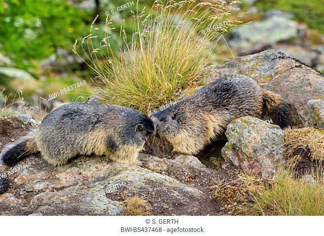 alpine marmot (Marmota marmota), two marmots saying welcome in front of the dens, Switzerland, Valais