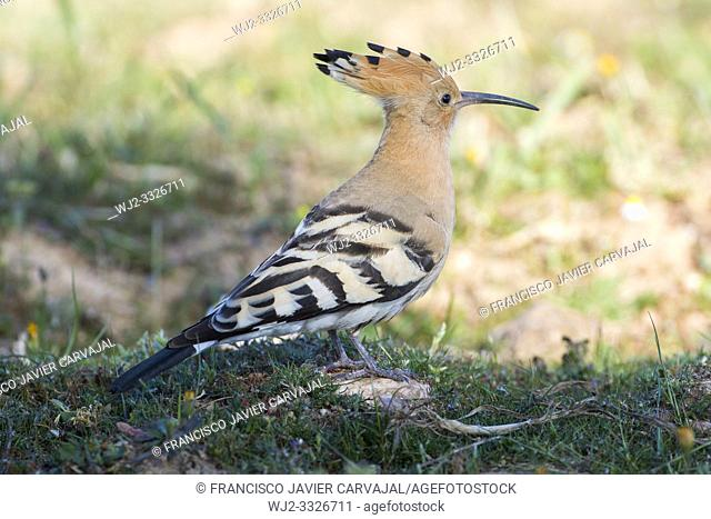 Hoopoe (Upupa epops) containing the dawn, Extremadura, Spain
