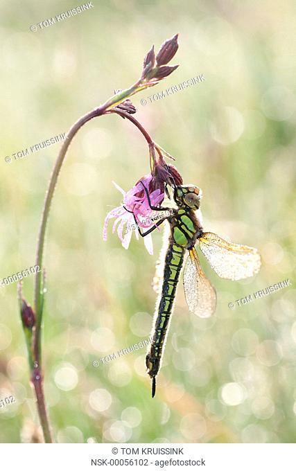 Hairy dragonfly (Brachyton pratense) on Cuckoo-flower (Cardumine pratensis), the Netherlands, Overijssel, Weerribben