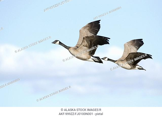 Pair of Canada Geese flying in tandem over Creamer's Field Migratory Waterfowl Refuge, Fairbanks, Interior Alaska, Spring