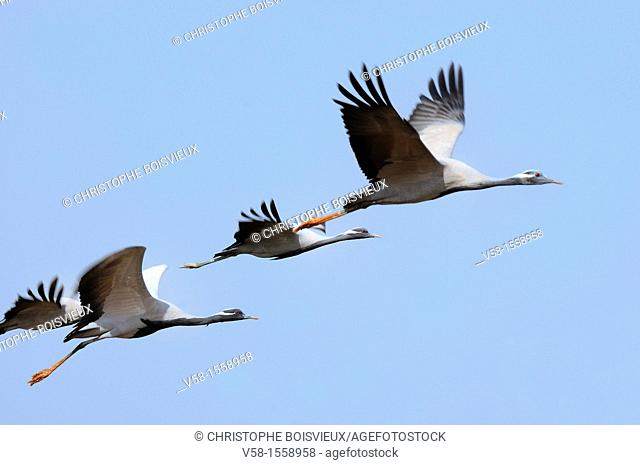 India, Rajasthan, Phalodi district, Kheechan, Demoiselle cranes  Native to South West Europe, Black Sea region, Poland, Ukraine, Kazakhstan, Africa and Mongolia