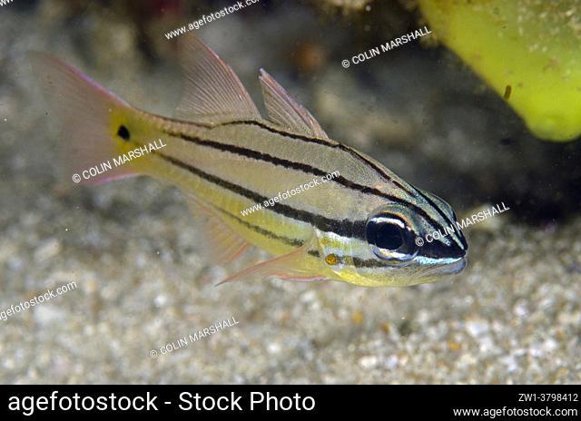 Juvenile Spotgill Cardinalfish (Ostorhinchus chrysopomus), Rusak Gigi dive site, Padar Island, Komodo National Park, Indonesia