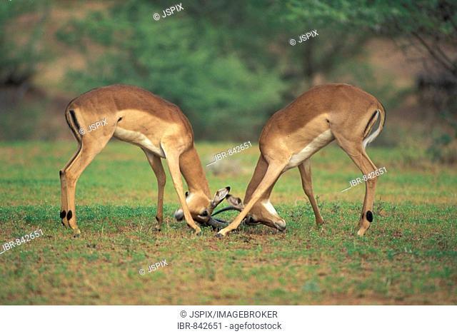 Impala (Aepyceros melampus), adult bucks fighting, Kruger National Park, South Africa, Africa