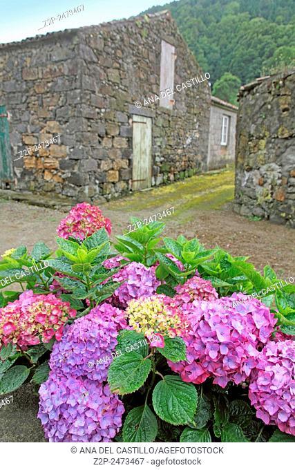 Hydrangeas Sete Cidades village in Sao Miguel island Azores Portugal