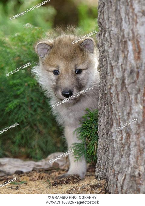 Arctic Wolf pup, Canis lupus, looking around tree trunk, Saskatchewan, Canada