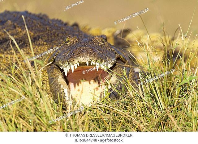 Nile Crocodile (Crocodylus niloticus), basking at the bank of the Chobe River, Chobe National Park, Botswana