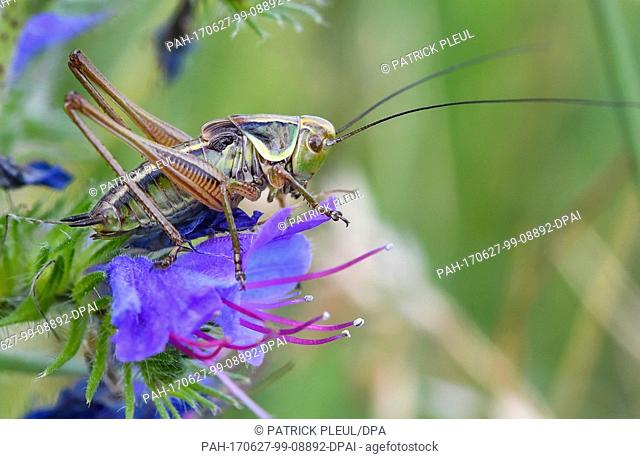 dpatop - A bush cricket sits on the blossom of a common viper's burgloss on a meadow near Reitwein, Germany, 26 June 2017