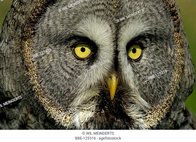 Portrait of a Great Grey Owl