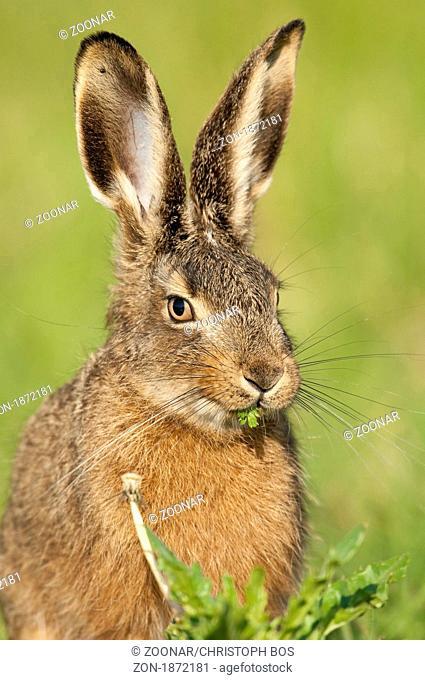 Feldhase lepus europaeus hare rabbit