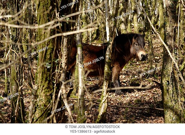 Exmoor Pony in Cabilla and Redrice woods, Cornwall, England, UK