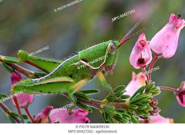 Grasshopper, newly discovered species, from fynbos habitat, Jonaskop, Western Cape, South Africa
