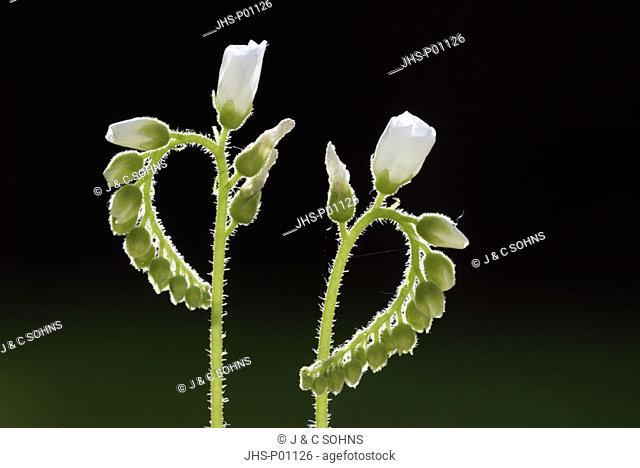 Sundew Drosera species Germany Europe