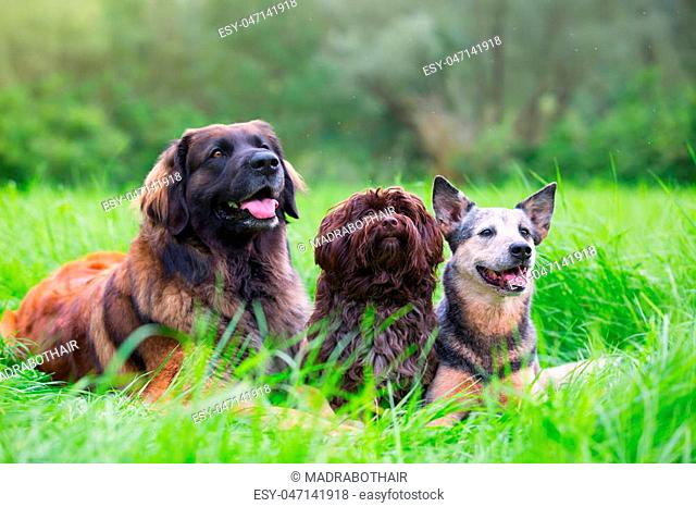 portrait picture of a Leonberger, Havanese and Australian cattledog who lie on the grass