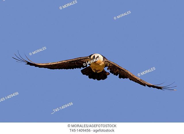 Spain , province of Lleida , Lammergeier or Bearded Vulture  Gypaetus barbatus