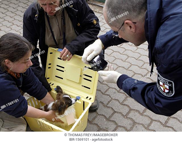 Employees of the Public Order Office photograph a seized Papillon dog belonging to a group of 40 animals that were rescued from non apporpriate surroundings