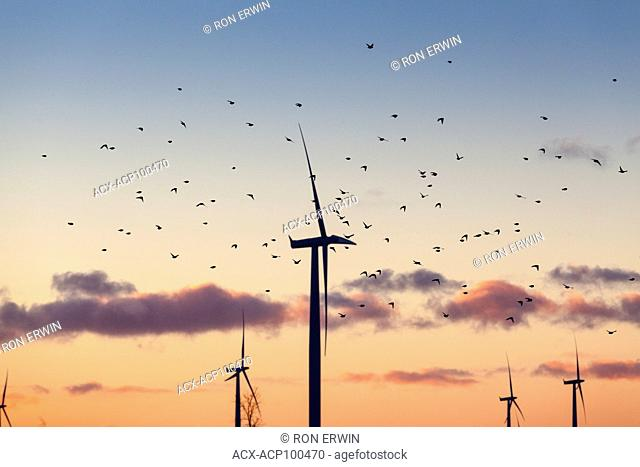 Flock of Snow Buntings flying through a field of wind turbines on Wolfe Island, Ontario, Canada