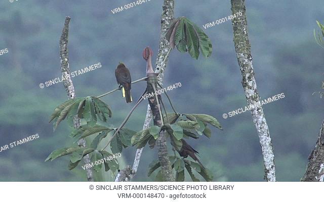 Bird sitting on a tree. Filmed in Alto Coca, Ecuador