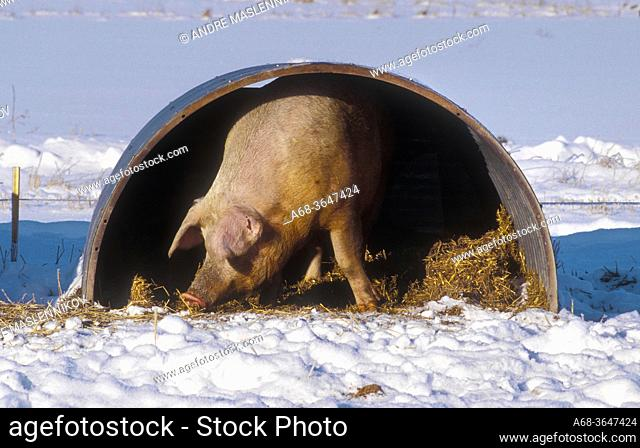 Organic pigs can stay outdoors even in winter. They can have a hut with straw to crawl into, if it gets too cold. Uppland County. Sweden