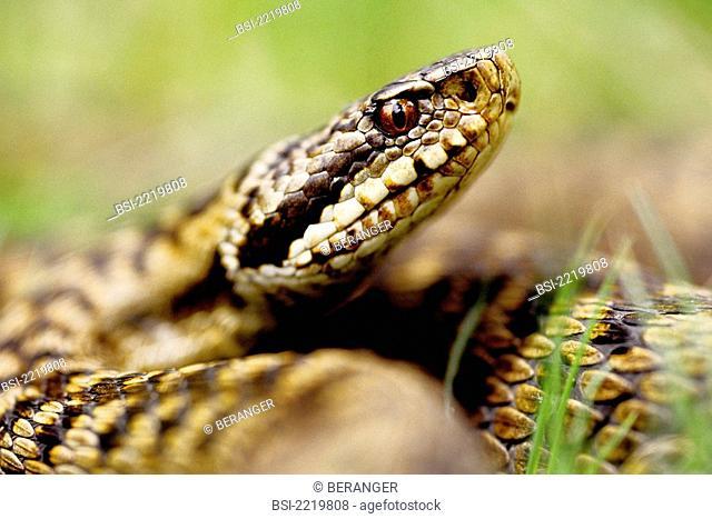 Asp viper Vipera aspis. Asp viper is a poisonous snake. Vipera aspis  Asp viper  True viper  Viperid  Poisonous snake  Snake  Reptile