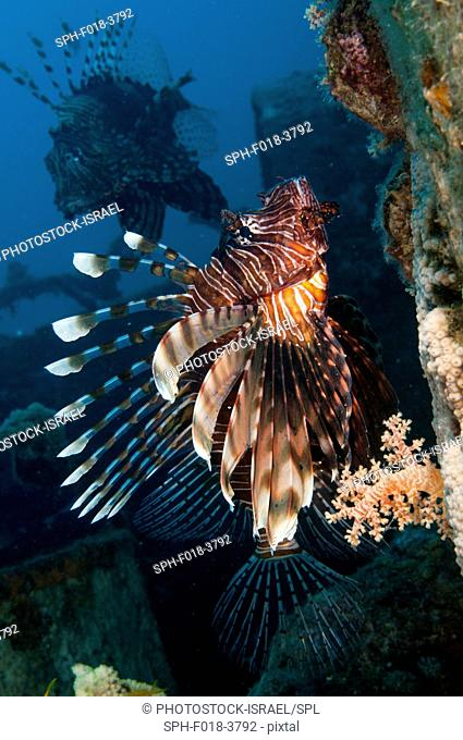 Common Lionfish or devil firefish (Pterois miles). This species is endemic to the Red Sea. It has bright warning colours and its spines are highly venomous and...