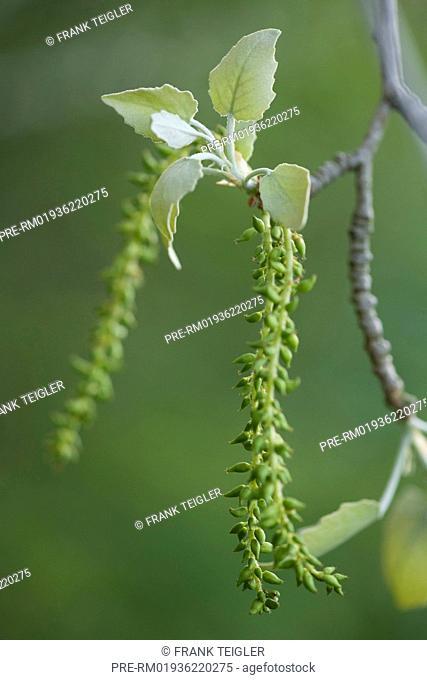 Silver Poplar, Populus alba / Silber-Pappel, Populus alba