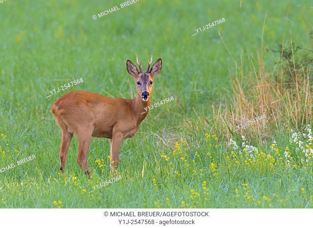 Western Roe Deer (Capreolus capreolus) on Meadow, Roebuck, Hesse, Germany, Europe