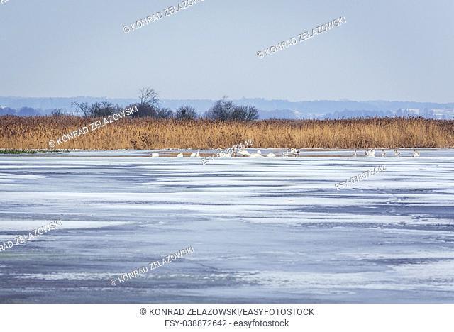 Swans on Narew River in Waniewo village, Wysokie Mazowieckie County in Podlaskie Voivodeship of northeastern Poland
