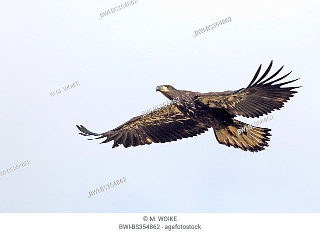 American bald eagle (Haliaeetus leucocephalus), flying immature eagle, USA, Florida