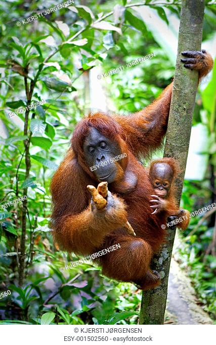 Orangutan with her baby