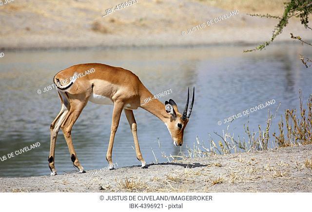 Impala (Aepyceros melampus), male by river, Tarangire National Park, Tanzania