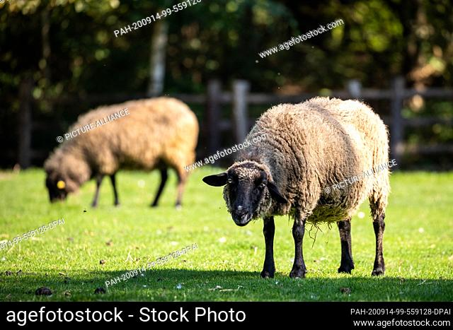14 September 2020, Lower Saxony, Hanover: A rough-wooly Pomeranian Landscape Sheep is standing on a pasture in Hannover Adventure Zoo