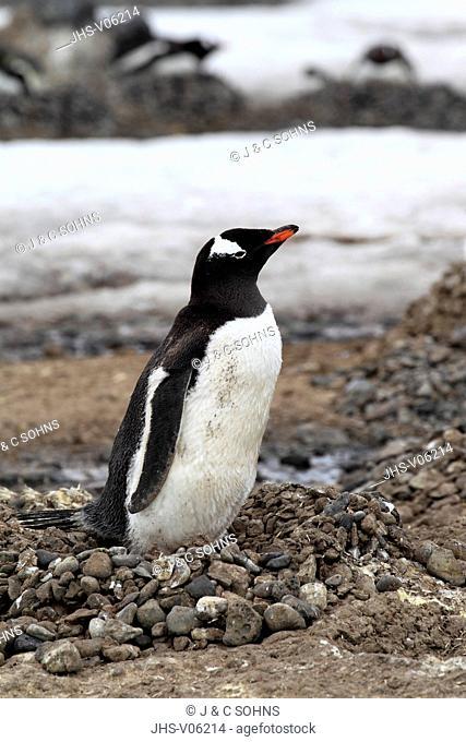 Gentoo Penguin, (Pygoscelis papua), Antarctica, Half Moon Island, adult at nest