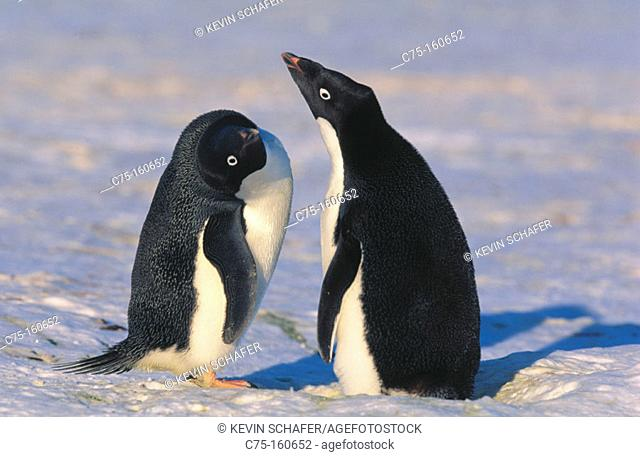 Adelie Penguins (Pygoscelis adeliae) Courtship dance. South Sandwich Islands. Antarctica