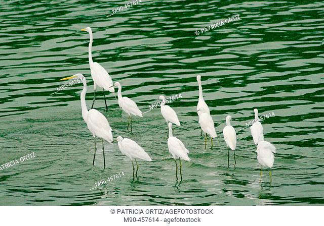 Great Egret (Egretta alba). La Venta Park, Villahermosa. Tabasco, Mexico