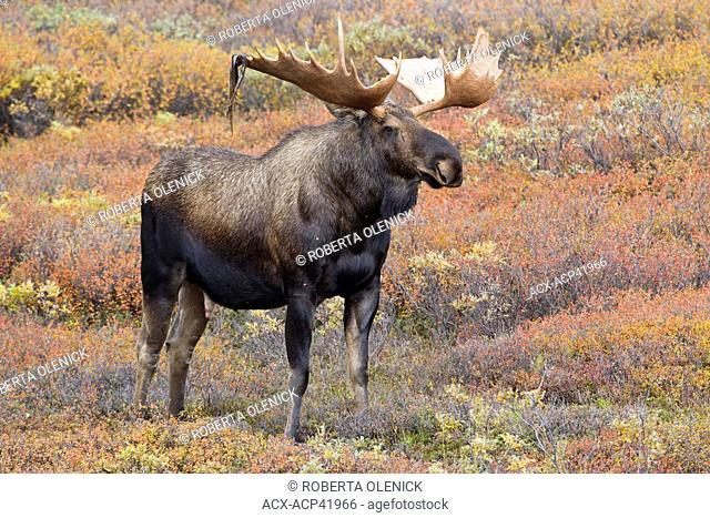 Moose Alces alces gigas, bull shedding velvet, in fall colour, Denali National Park, Alaska, United States of America