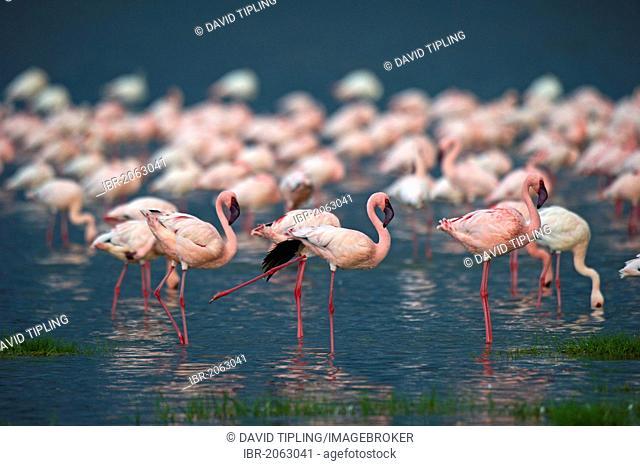 Lesser Flamingos (Phoenicopterus minor) on Lake Nakuru, Kenya, Africa
