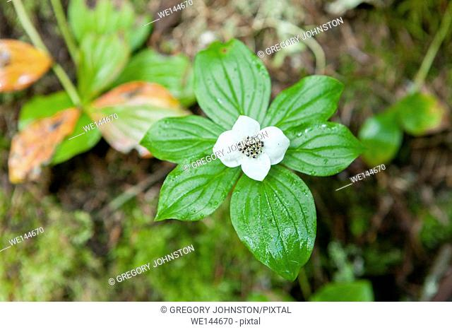 Bunchberry flower, cornus canadensis. Photo taken on the trail to Sol Duc Falls in the Olympic National Park in Washington