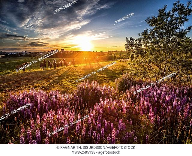 Midnight sun, lupines wildflowers and horses, Reykjavik, Iceland. Image shot with a drone