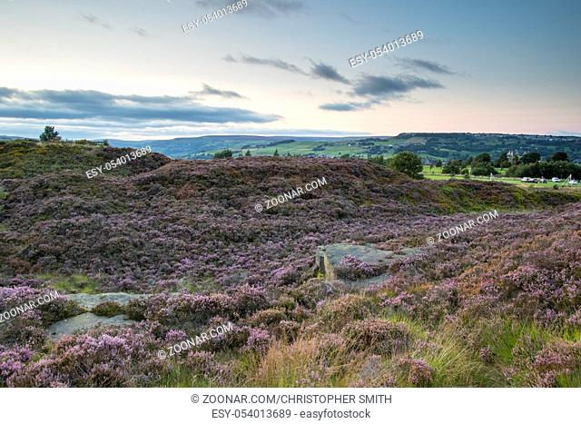 Norland, Halifax, West Yorkshire, UK 6th September, 2015. UK Weather Heather in flower on a beautiful day at sunset