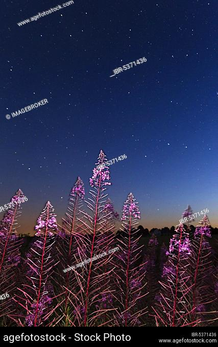 Starry sky, narrow-leaved willowherb (Epilobuum angustifolium), perennial fireweed, star, stars, Germany, Europe