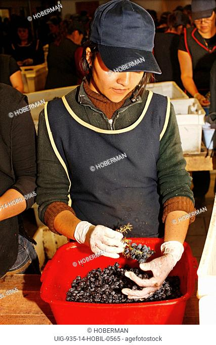 Worker sorting Grapes, Chile