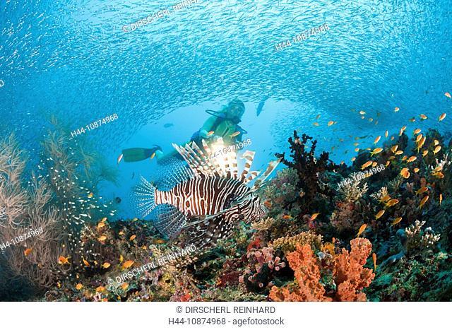 Rotfeuerfisch und Taucher, Pterois miles, Maya Thila, Nord Ari Atoll, Malediven, Lionfish and Diver, Pterois miles, Maya Thila, North Ari Atoll, Maldives
